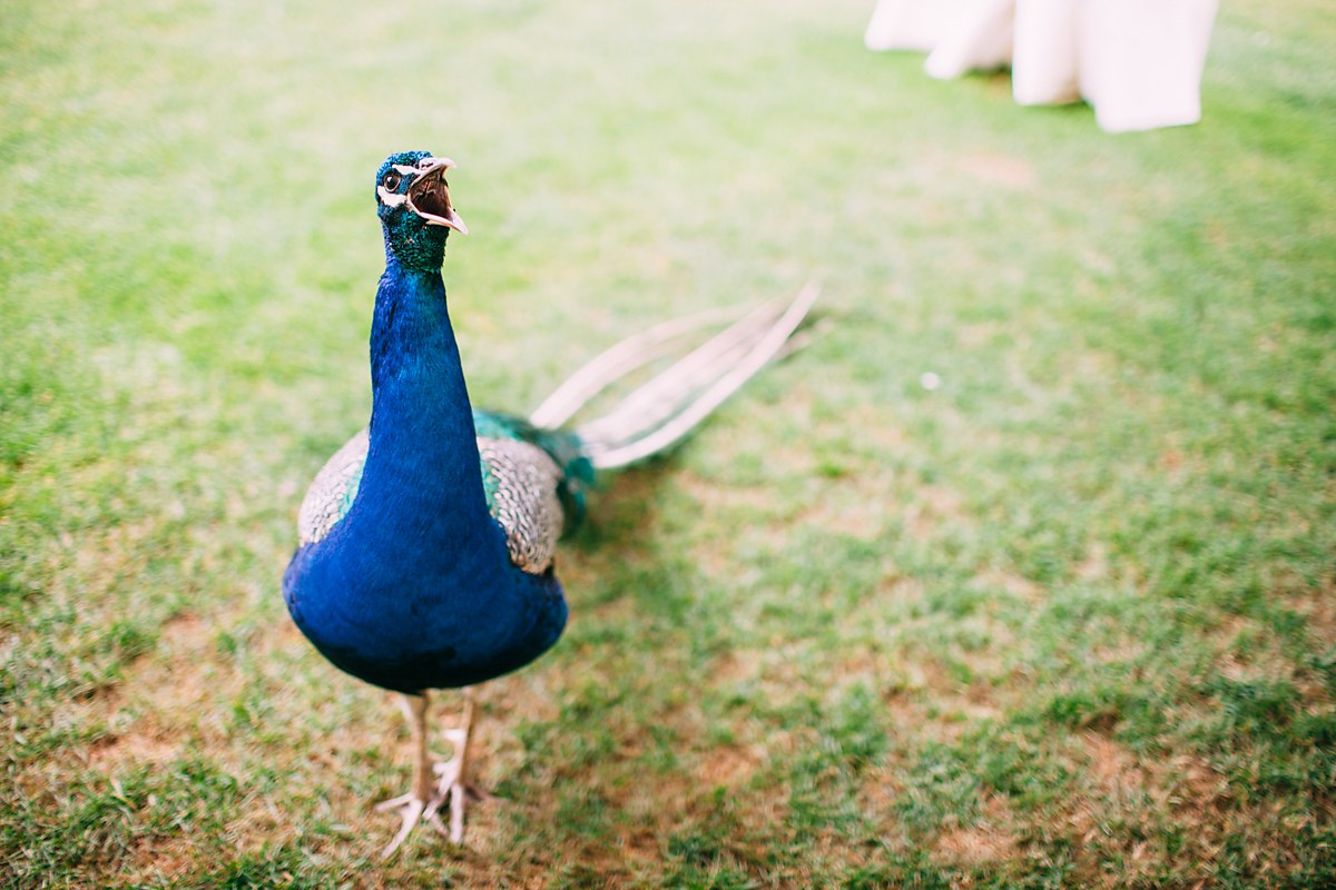 peacocks at larmer tree gardens wedding
