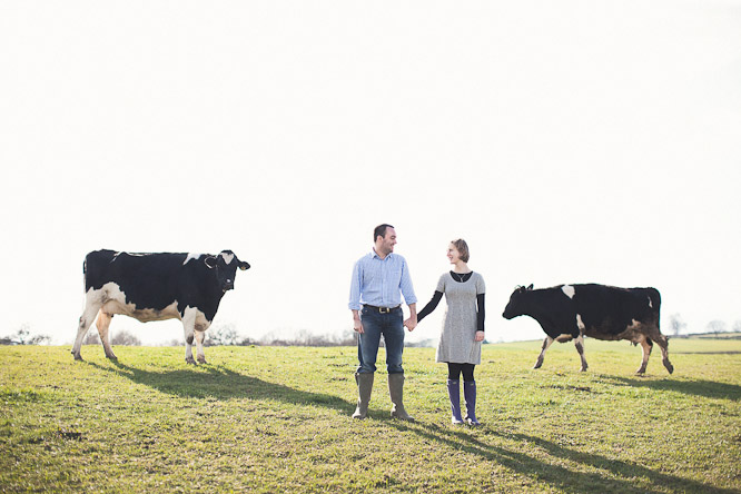 cows on an engagement shoot