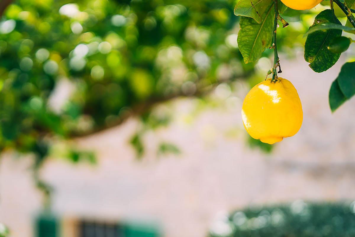 lemons in Mallorca